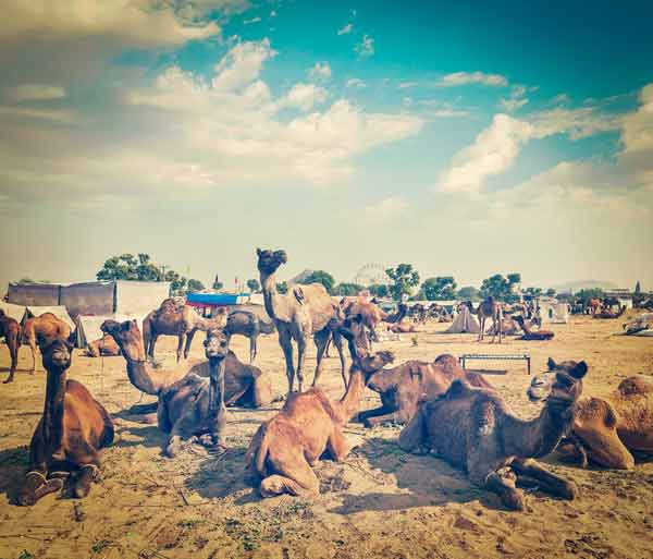 Desert Camels for Sale in India