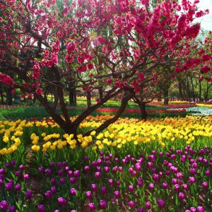 Beijing - Peach Blossoms and Tulips