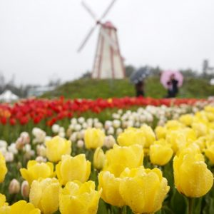 South Korea - Cherry Blossoms and Taean Tulip Festival