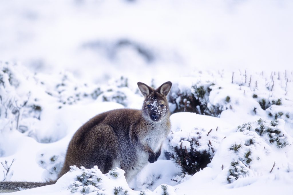 snow wallaby